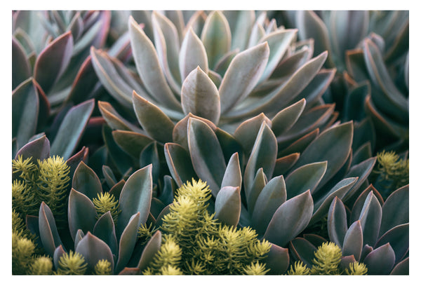 Graptoveria Study #3 - Fine Art Photograph