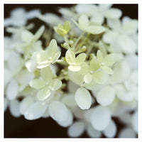 Hydrangea Light - Fine Art Photograph
