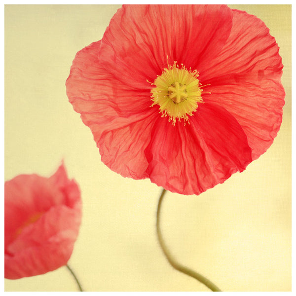 Color spring poppies. Photography by Alicia Bock.