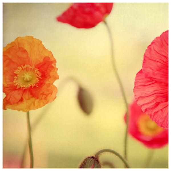 Colorful spring poppies photographed by Alicia Bock.