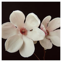 Magnolia On Black #1 - Fine Art Photograph