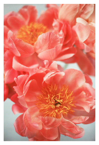 Paeonia #6 -  Fine Art Photograph