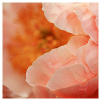Paeonia #2 -  Fine Art Photograph