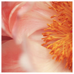 Paeonia #9 -  Fine Art Photograph