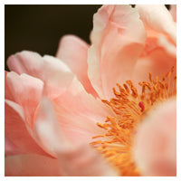 Paeonia #3 -  Fine Art Photograph