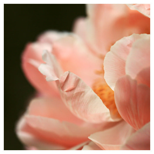 Paeonia #1 - Fine Art Photograph