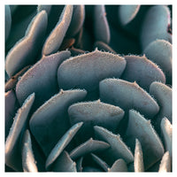 Morning Echeveria #1 - Fine Art Photograph