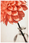 One Dahlia - Fine Art Photograph