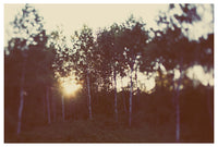 Birch Forest - Fine Art Photograph