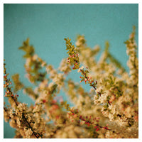 Darling Buds of May - Fine Art Photograph