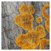 Yellow Lichen - Fine Art Photograph