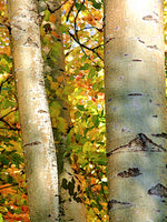Birch Trees in Light -  Fine Art Photograph