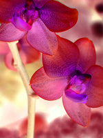 Orchid Light - Fine Art Photograph