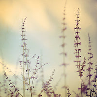 Lavenlight - Fine Art Photograph