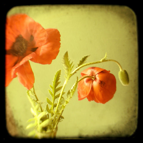 Oriental Poppies - Fine Art Photograph