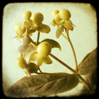 Yellow Berry - Fine Art Photograph