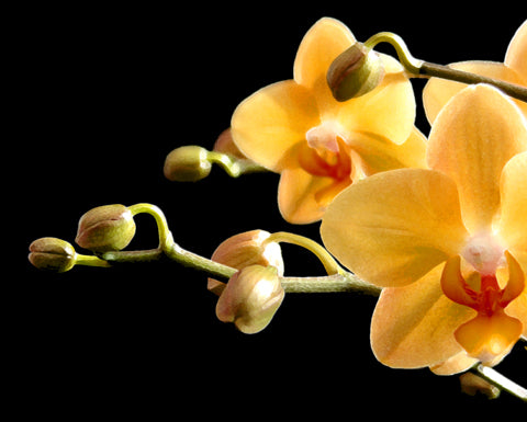 Orchid Orange - Fine Art Photograph