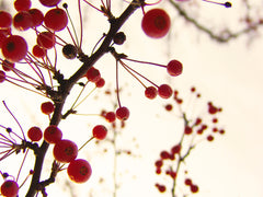 Winter Red - Fine Art Photograph