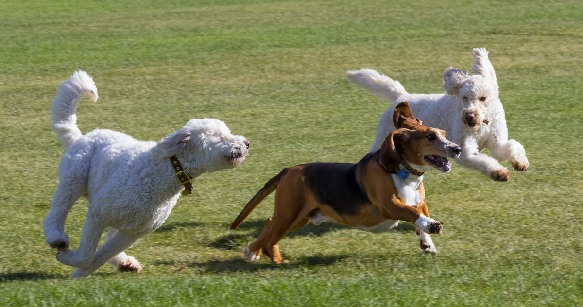 Dogs Playing At Off-Leash Dog Park