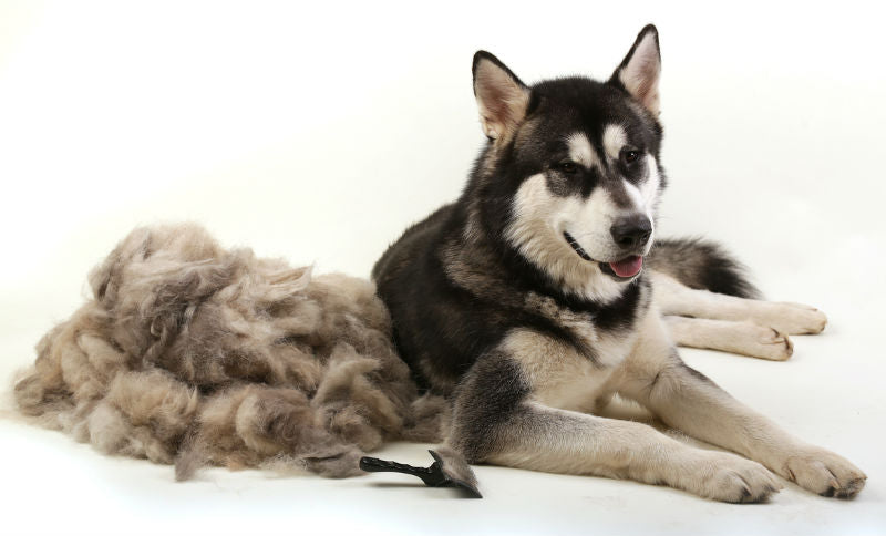Husky with a pile of shedded fur