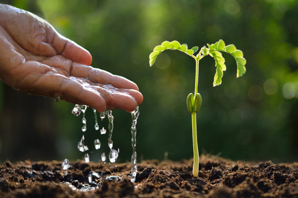 Giving water to a seedling