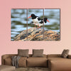 Haematopus ostralegus, Eurasian Oystercatcher. The photo was taken in canvas wall art