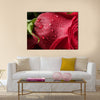 The Red Petals Of A Rose Are Covered By The Wet Dew Drops, Multi Panel Canvas Wall Art