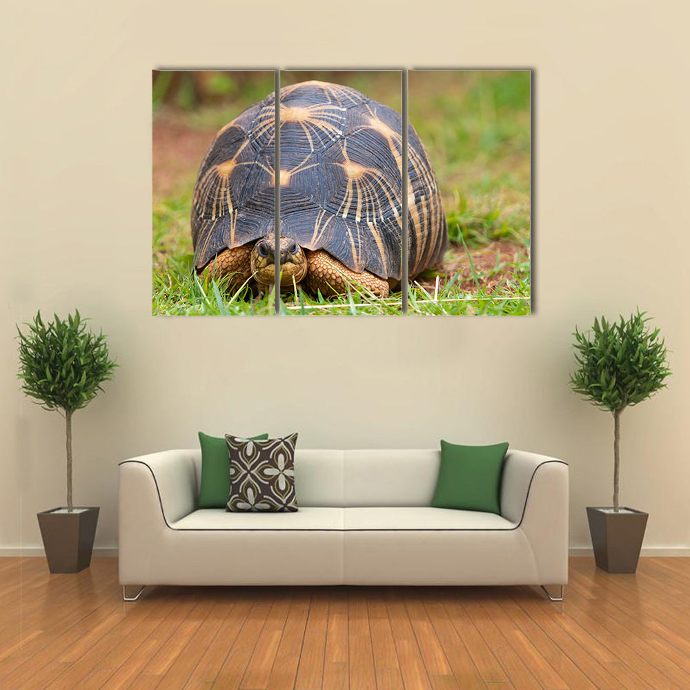 The radiated tortoise, endemic turtle from south of Madagascar Multi Panel Canvas Wall Art