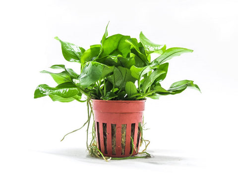 Anubias Barteri Golden Potted Large