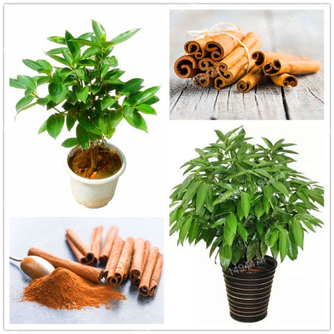 Cinnamon Dwarf Trees Seeds (10 seeds)
