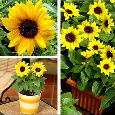 Mini Sunflower Seeds