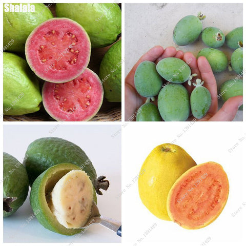 Guava Seeds Tropical Fruit Seeds Non-GMO (10 pcs)