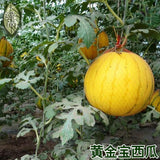 Yellow Watermelon Seeds Red Meat (20 Seeds)