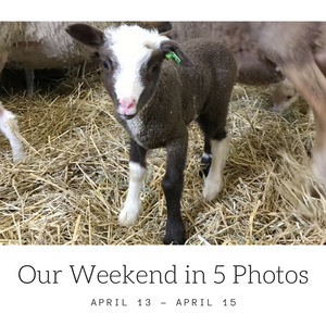 Lamb at Gale Woods Farm | Minnetrista, MN