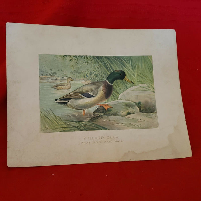 Lot 7: Antique 1898 J.L. Ridgway Bird Color Chromolithograph Plates Birds