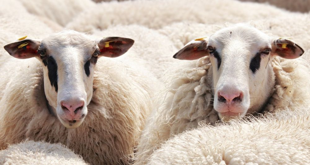 Stop Shopping Wool Fabrics Vegan sheep