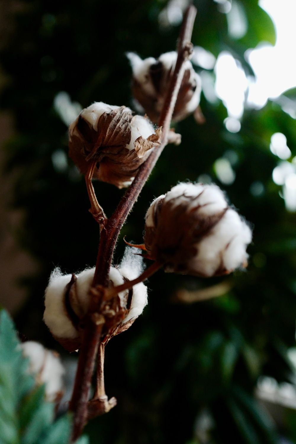 cotton plantation