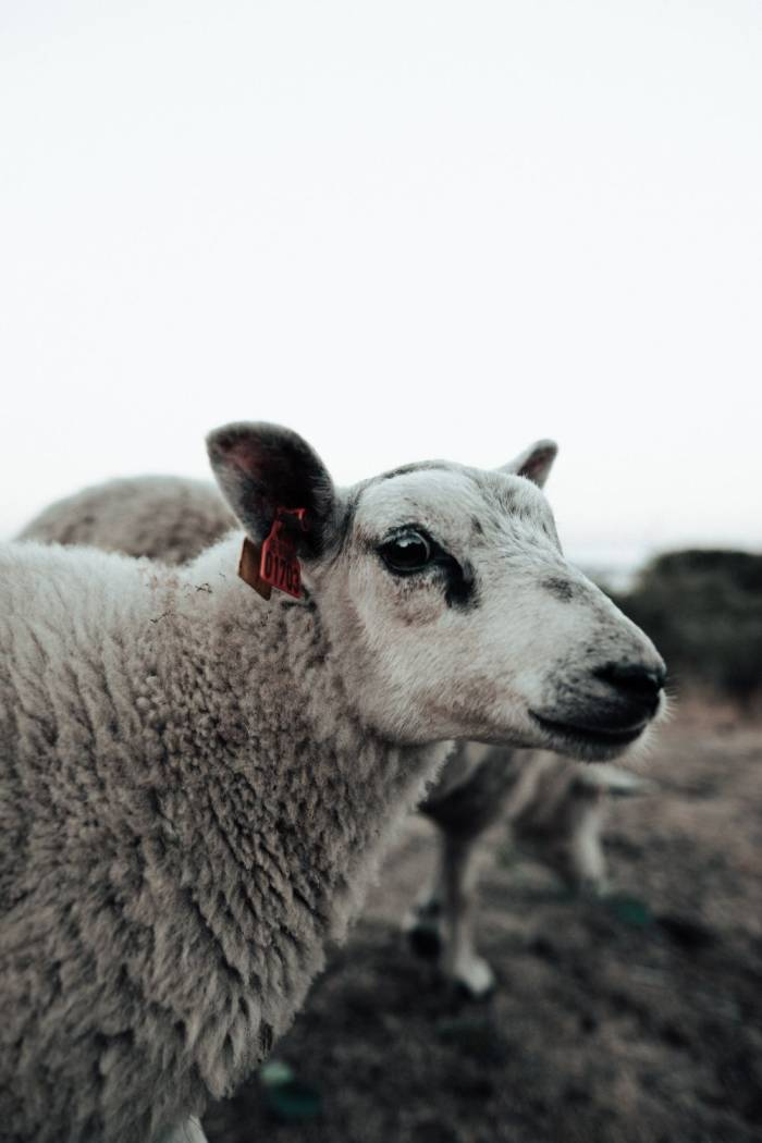 sheep farming cruelty