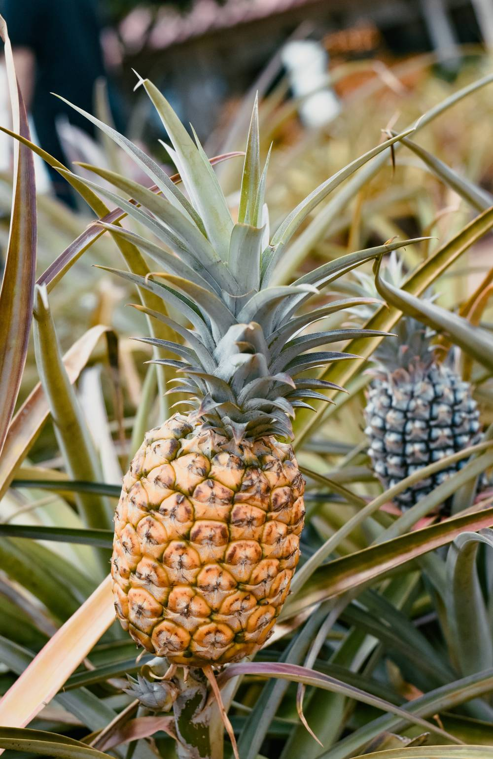pineapple cultivation plant fruit field