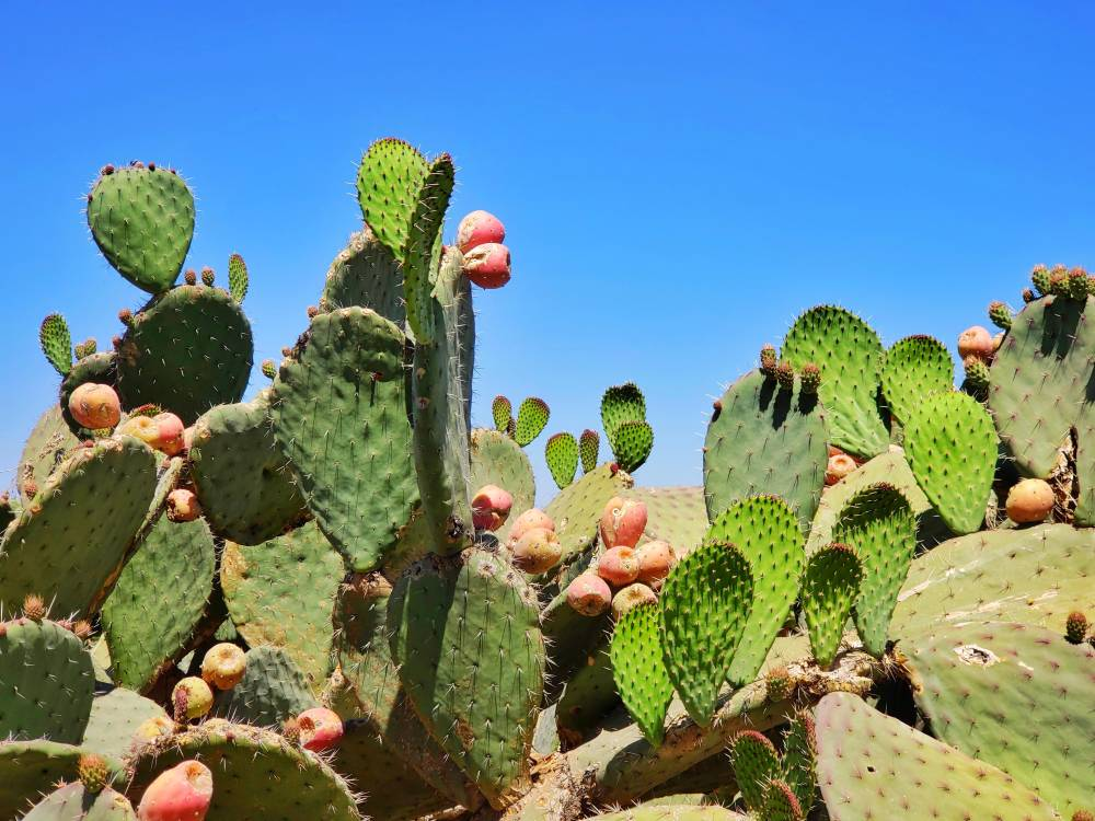 desserto leather nopal cactus
