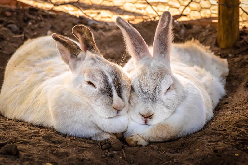 rabbit couple fur