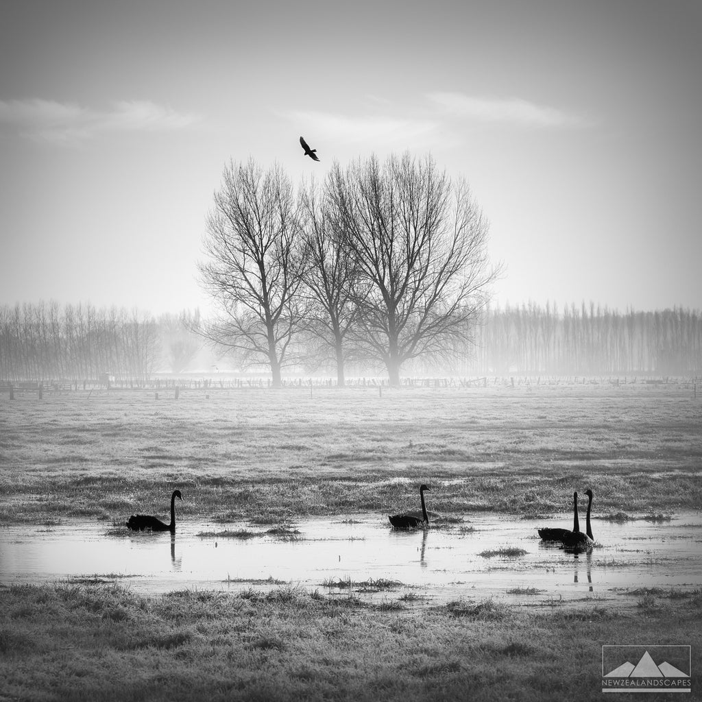 Misty frosty winter morning black swans Canterbury New Zealand