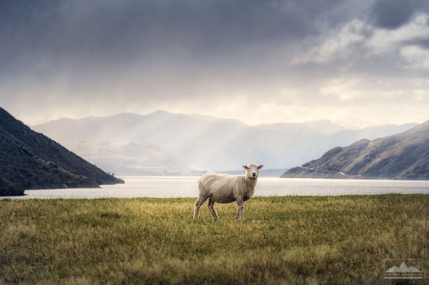 Photo of a sheep in New Zealand with grass in the foregound and lake and mountains in the background