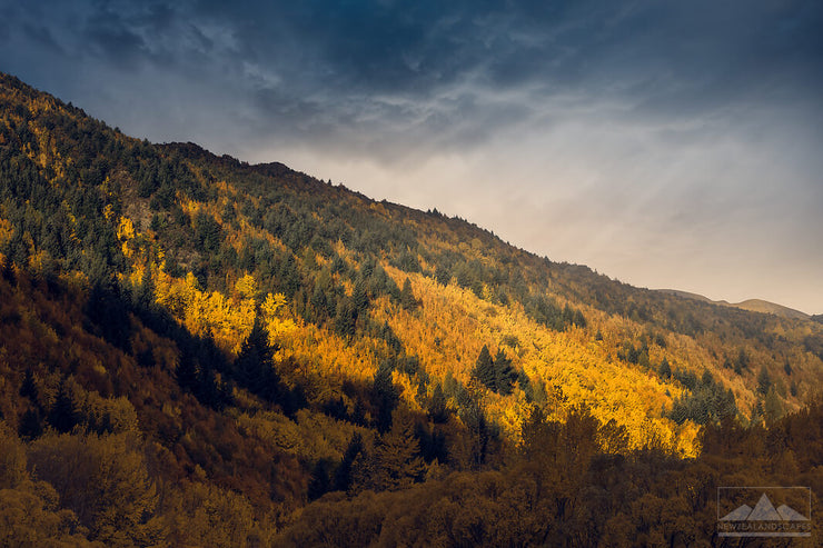 Yellow golden trees, with dark clouds above, in autumn on the hillside in Arrowtown, Otago