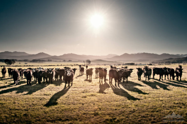 Cows Enjoying The Sunset