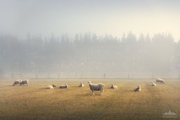 New Zealand sheep in a field on a misty winter morning
