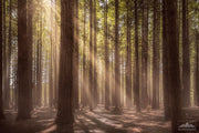 Photograph of Californian Redwood trees with sun rays peeking through the tree tops at the forest in Rotorua