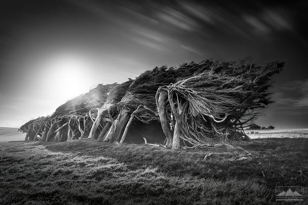 Black and white landscape photograph of windswept trees leaning on their sides at Slope Point, Southland, New Zealand.