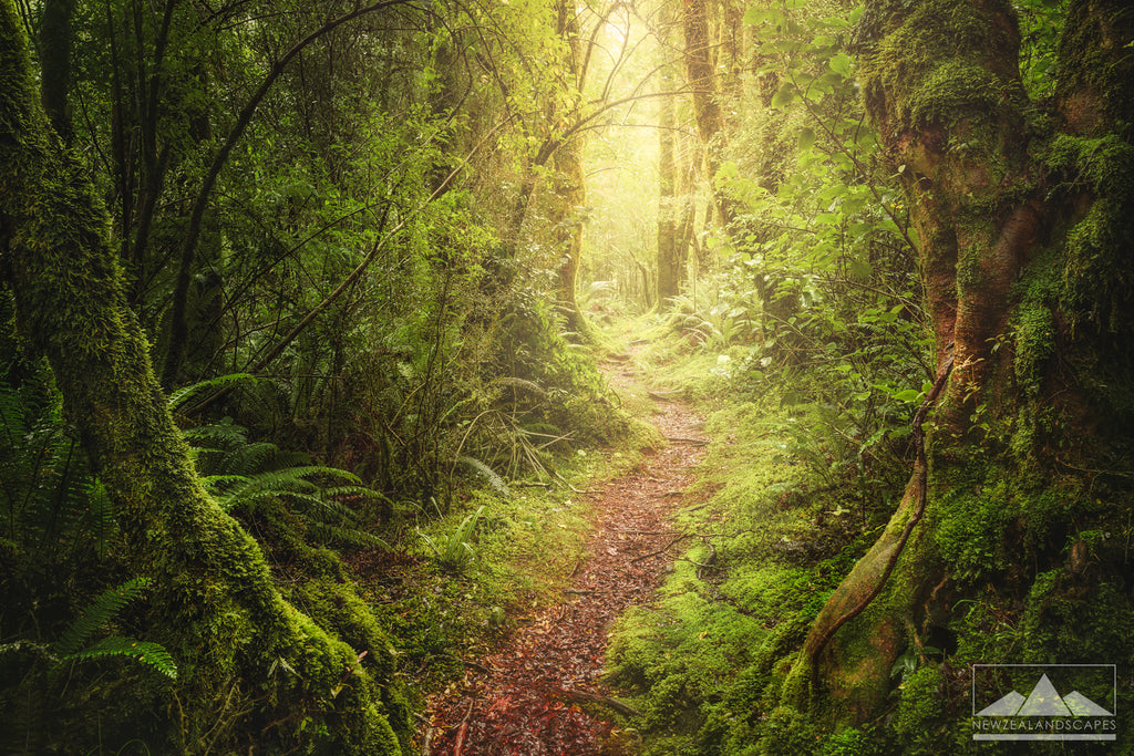 Te Anau Milford Sound forest of trees sunlit path New Zealand