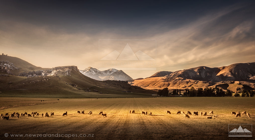 Sheep at Castle Hill - Newzealandscapes photo canvas prints New Zealand